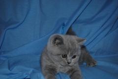Британский котик 173