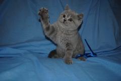 DSC_0448 Британский котик 1мес 3 нед