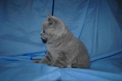 DSC_0464 Британский котик 1мес 3 нед