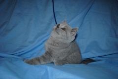 DSC_0491 Британский котик 1мес 3 нед