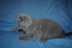 DSC_0523 Британский котик 1мес 3 нед