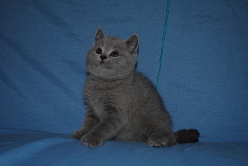 DSC_0327 Британский котик 1 мес 3 нед