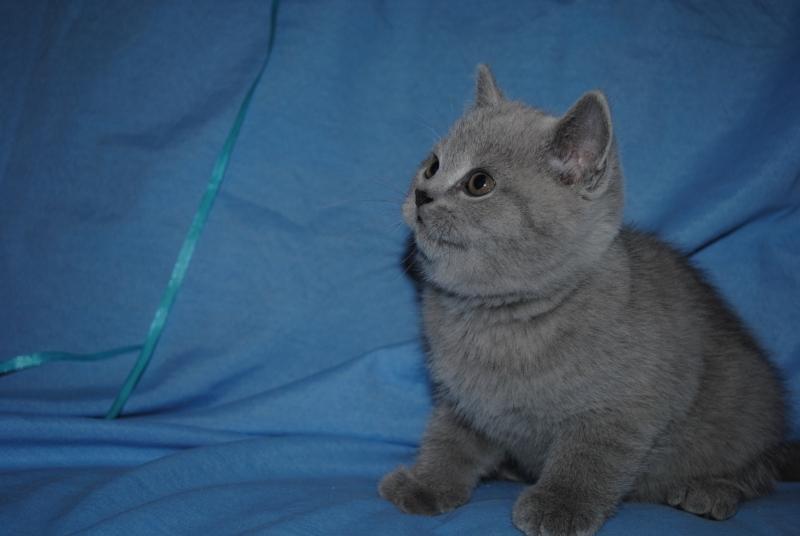 DSC_0334 Британский котик 1 мес 3 нед