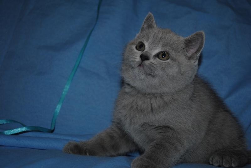 DSC_0343 Британский котик 1 мес 3 нед