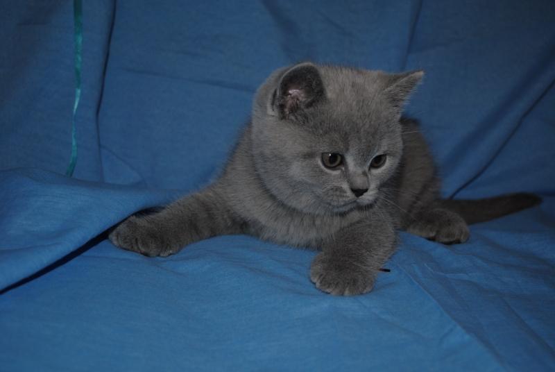 DSC_0350 Британский котик 1 мес 3 нед