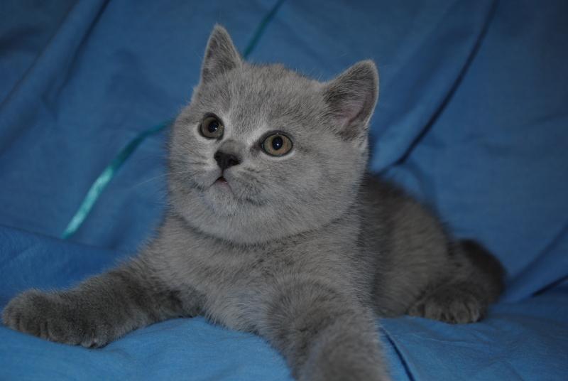 DSC_0362 Британский котик 1 мес 3 нед