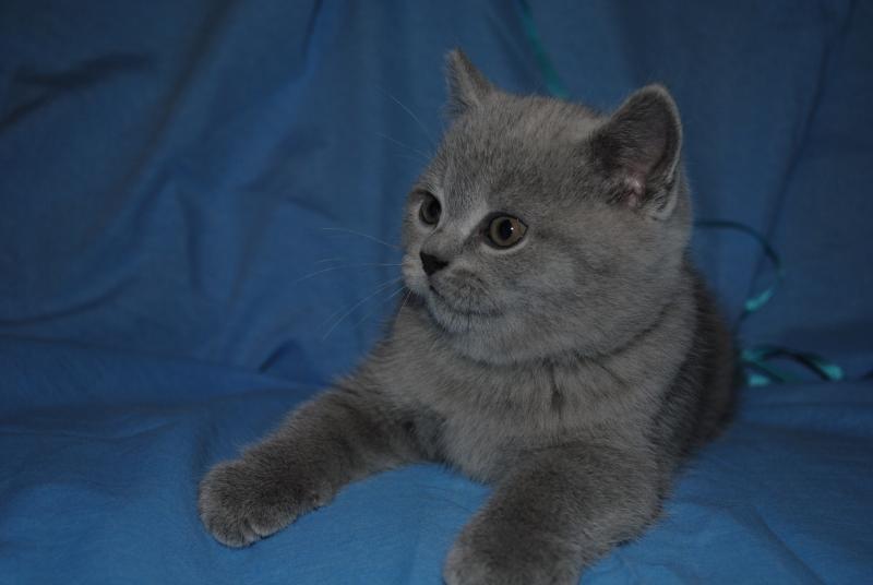 DSC_0367 Британский котик 1 мес 3 нед