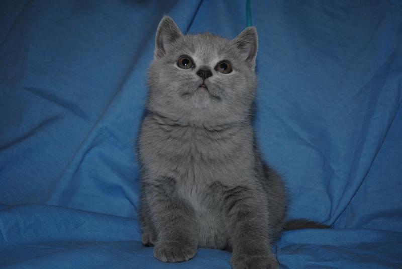 DSC_0373 Британский котик 1 мес 3 нед
