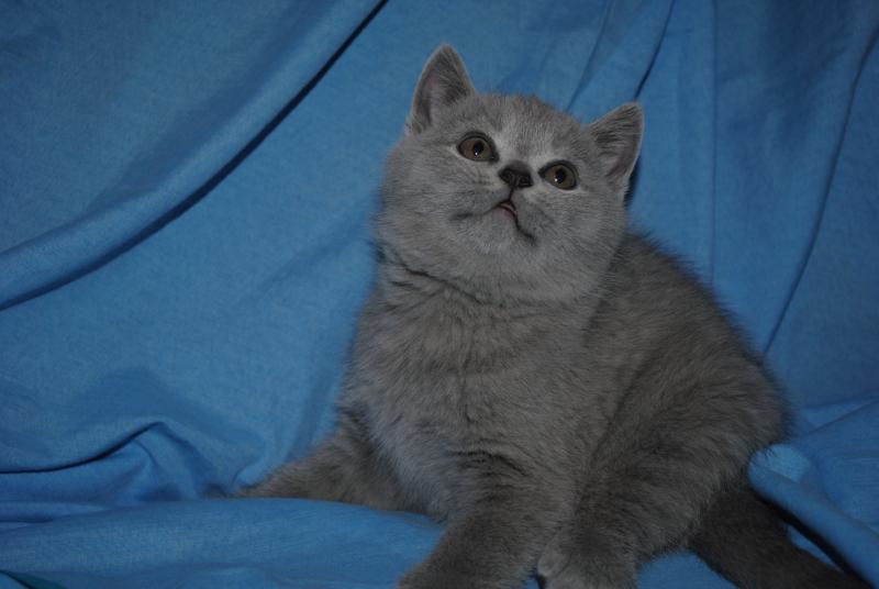 DSC_0390 Британский котик 1 мес 3 нед