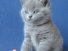 британский котенок1