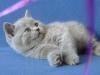 британский кот 2