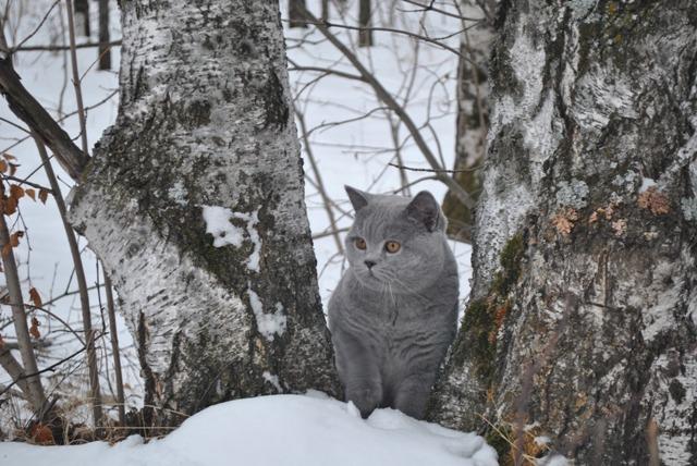 британский котик в лесу