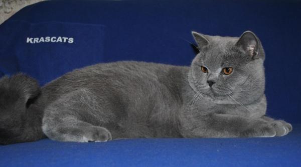 британский котик дома