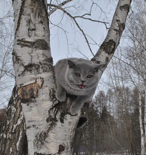 британский котик в лесу3
