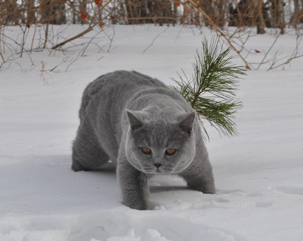 британский котик в лесу5