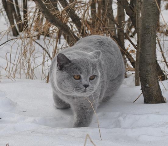 британский котик в лесу6