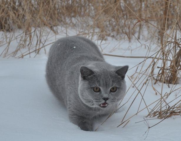 британский котик в лесу10