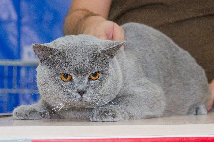 Британского кота оценивают Фарус ринга 2015,08,30