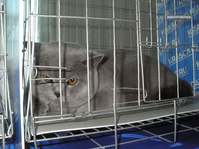 Британский кот в клетке 20150404 2