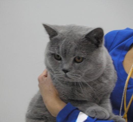 Британский кот на выставке20150404 5