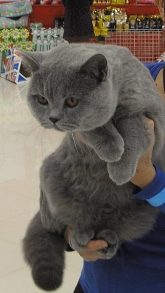Британский кот на выставке20150404 7