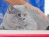 Британский кот на столе Фарус ринга 2015,08,30