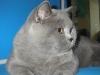 Британский кот на выставке20150404 3