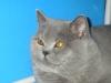 Британский кот на выставке20150404 4