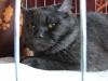 британский кот Тесей4