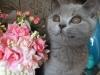 британская кошечка Уфицци-цветок