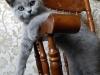 британская кошечка Уфицци в кресле