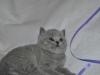 tibald_5647__0 Британский котик