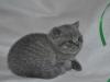 tertullian_5638_0 Британский котик