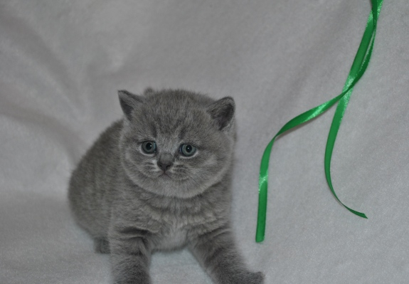 tertullian_5620_0 Британский котик