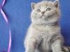 британский котик Улис1
