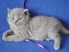 британский котик Улис2
