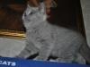 dsc_5851_taysonБританский котик