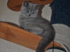 Британский котик_5949-tayson