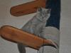 Британский котик_5952-tayson