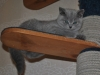 Британский котик 5985-tayson