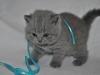 tison_5611_Британский котик