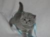 tison_5612_Британский котик