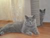 британская кошка Уния4