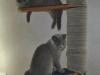 британская кошка Уния3