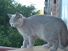 британская кошка Уния2