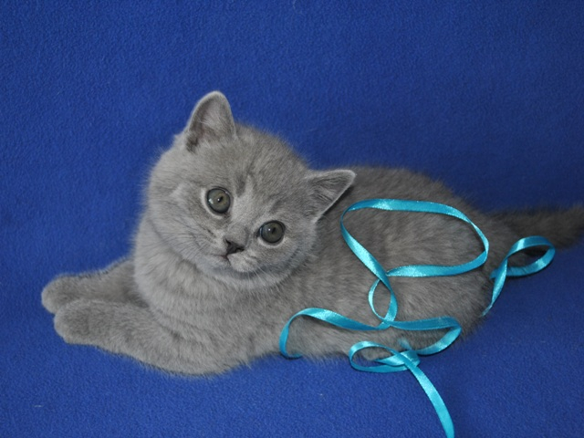 британский котик Урбан12