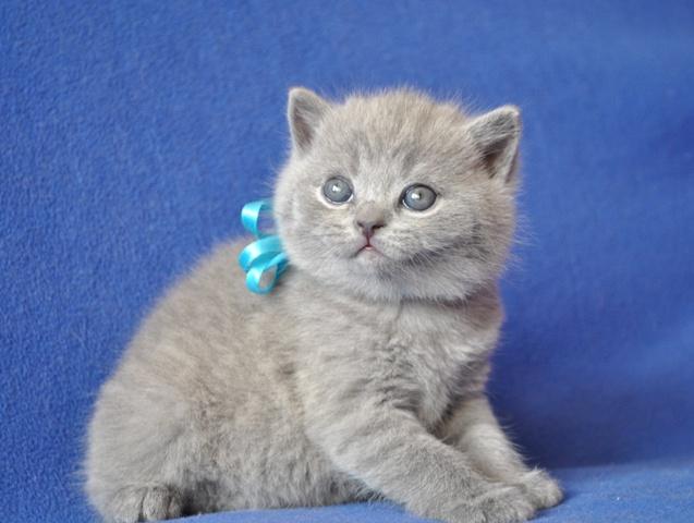 британский котик Урбан4