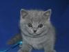 британский котик Урбан5