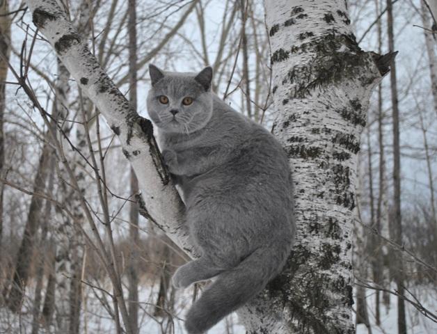 Британский кот на березе