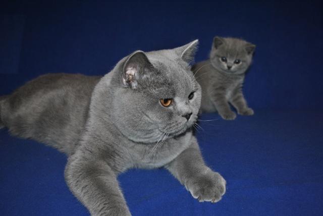 Британский котик -старший воспитатель